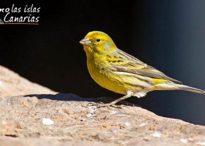 aves de canarias canarios imagenes fotos tenerife amo las islas canarias arona