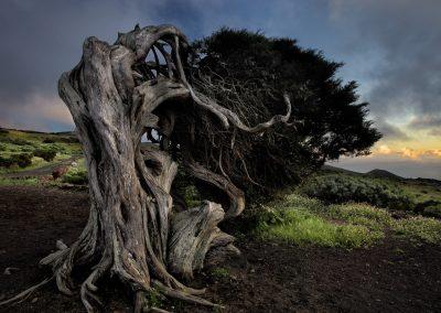 Sabina retorcidas por el viento, sabinar de la Dehessa,El Hierro, Canarias