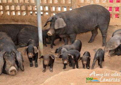 cochino negro canario especie en extincion fotos cerdo autoctono arona