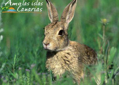 conejos fauna autoctona de canarias liebres fotografias adeje