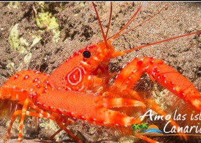 crustaceos imagenes cigala canaria especies marinas islas canarias marisco arona