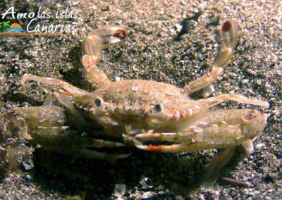 fauna marina crustaceos islas canarias fondos marinos tenerife arona amolasislascanarias