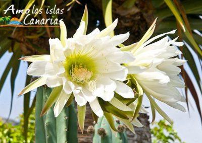 flor de cardon canario imagenes vegetacion de las amolasislascanarias