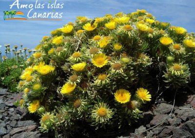 flora autoctona de las islas canarias arbustos con flores tenerife imagenes amolasislascanarias
