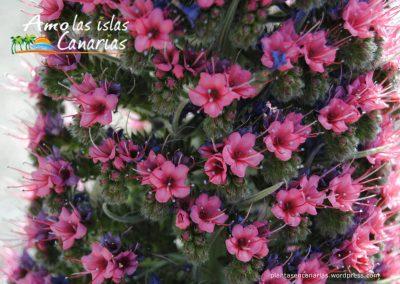 foto de tajinaste rojo imagenes de la vegetacion y flora amo las islas canarias teide tenerife adeje