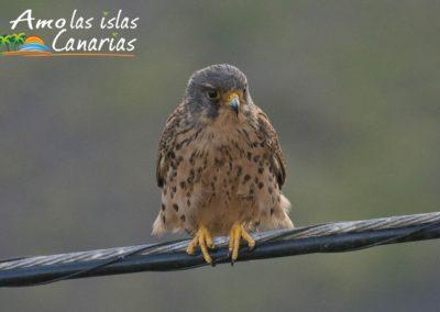 fotografias de cernicalo aves de las islas canarias la gomera el hierro tenerife españa arona