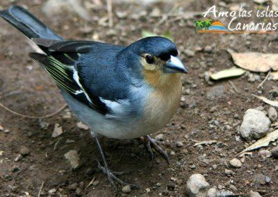 fotografias del pinzon azul aves de canarias especie autoctona canarias i love canary island