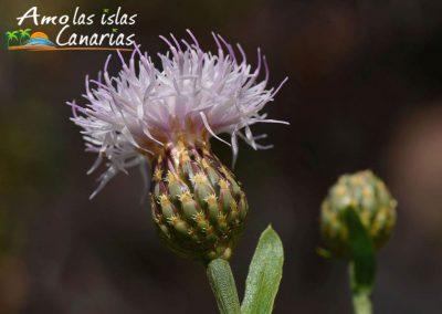 fotos de arbustos endemicos de las islas canarias tenerife arona