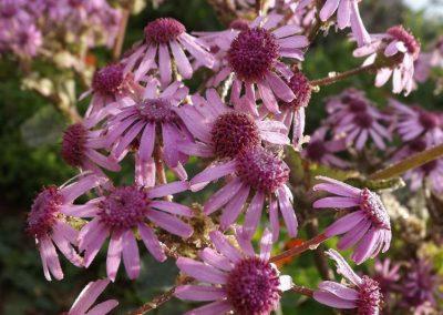 fotos de la flor de mayo planta endemica de las islas canarias imagenes adeje