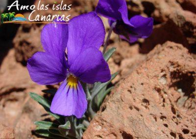 fotos de la violeta del teide flora de la cumbre en las montañas i love canary island