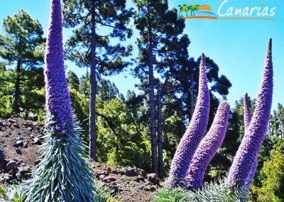 fotos tajinastes violetas de gran canaria vegetacion endemica de las islas canarias arona
