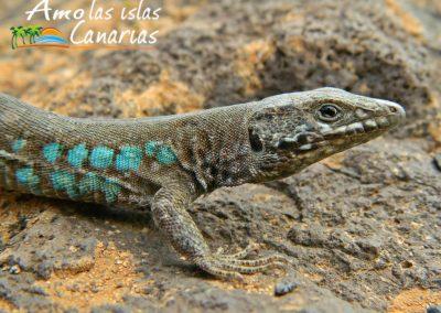 gallotina atlantica imagenes lagarto majorero de las amo las islas canarias adeje