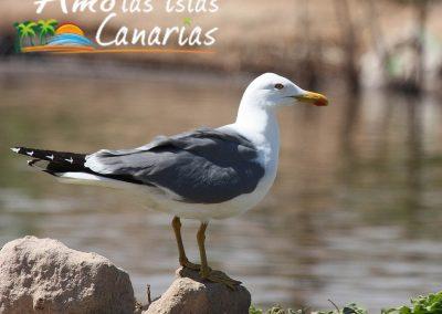 gaviota pati amarilla fotografias aves en canarias costas de las islas adeje