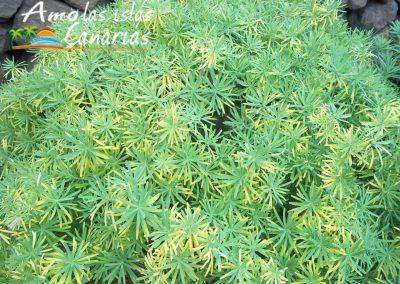 imagenes de tabaiba amarga planta endemica de las islas canarias adeje