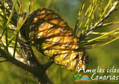 imagenes del pino canario arbol endemico de las islas canarias i love canary island