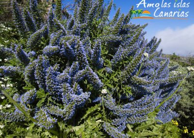 imagenes tajinaste azul en islas canarias vegetacion endemica i love canary island