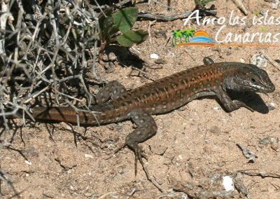 lagarto de canarias especie autoctona de tenerife reptil adeje