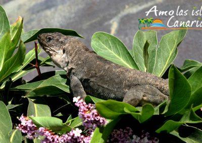 lagarto gigante de la gomera y el hierro reptiles de canarias adeje