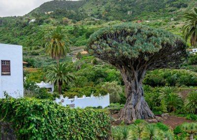 parque del drago milenario en icod de los vinos fotografias de tenerife norte islas canarias lugares de interes españa