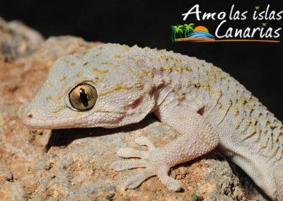 perenquen canario lagartija fotografias lagarto de las islas canarias arona