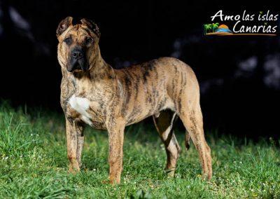 perro presa canario raza canina de las islas canarias fotos perros amo las islas canarias