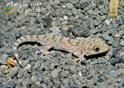 reptiles canarios perenquen especie autoctona de tenerife fotos amo las islas canarias