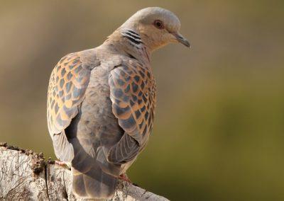 tortola en canarias animales en canarias imagenes aves canarias tenerife i love canary island