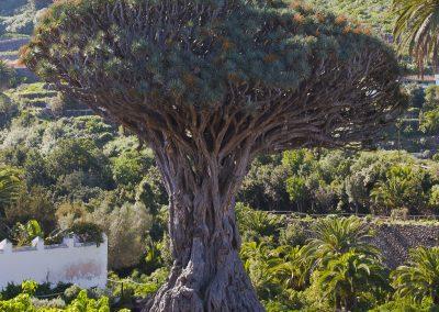 Drago_milenario,_Icod_de_los_Vinos,_Tenerife,_España,_2012-12-13,_DD_01