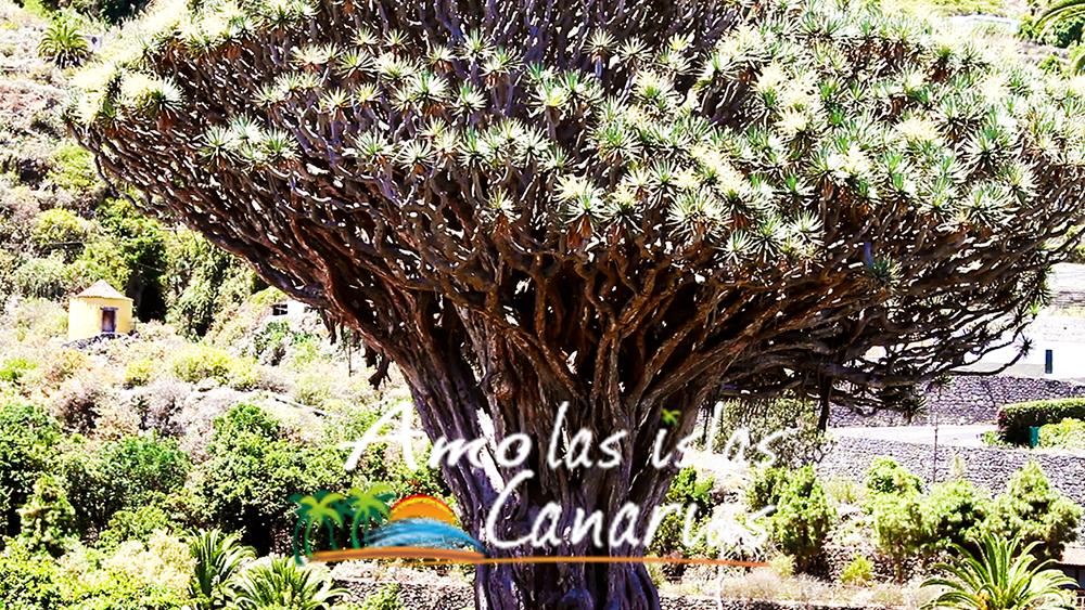 El Drago Milenario Tenerife Islas Canarias